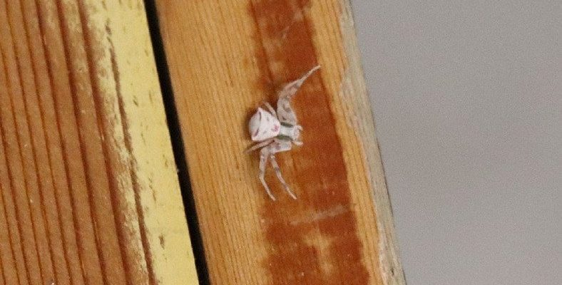 Denizli'de Arı ve Sineklerle Beslenen 'İnsan Yüzlü Örümcek' Görüldü