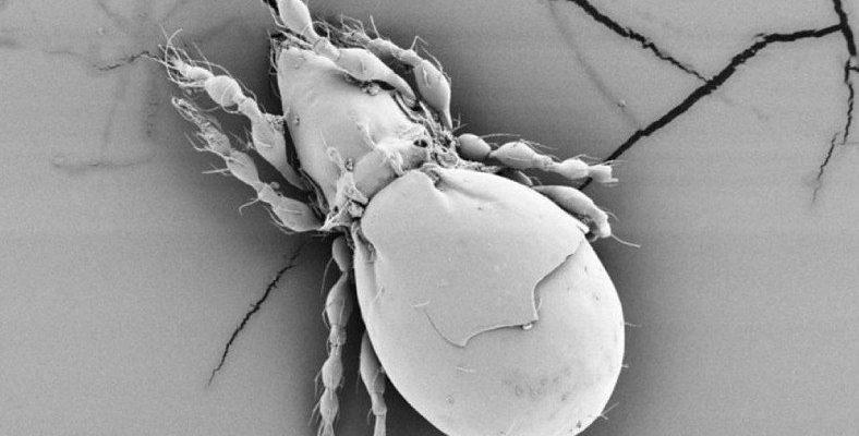 Araştırma, Hiç Cinsel İlişkiye Girmeyen Böceğin Nasıl Ürediğini Ortaya Çıkardı