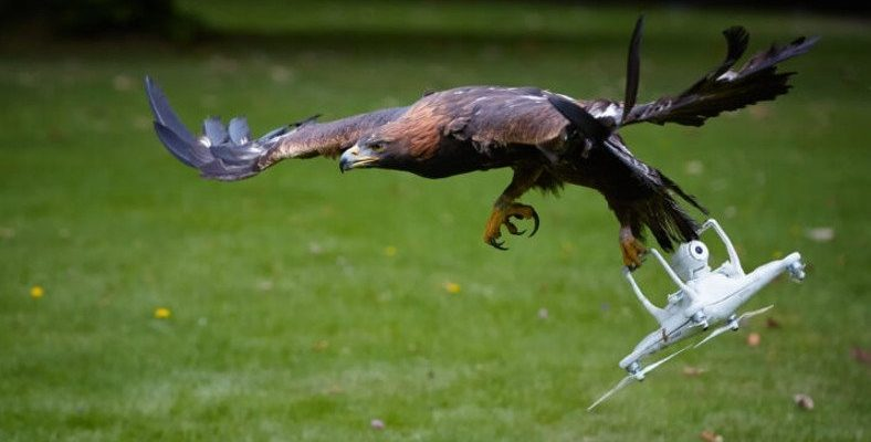 Havadayken Yan Bakmış: Bir Kuşun Uçan Drone'a Saldırdığı Anları Gösteren Video