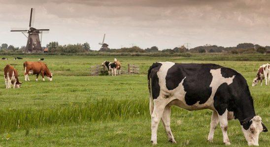 Türkiye'nin İnek Satın Aldığı Hollanda, Çiftlik Hayvanlarının Sayısını Azaltacak: İşte Sebebi